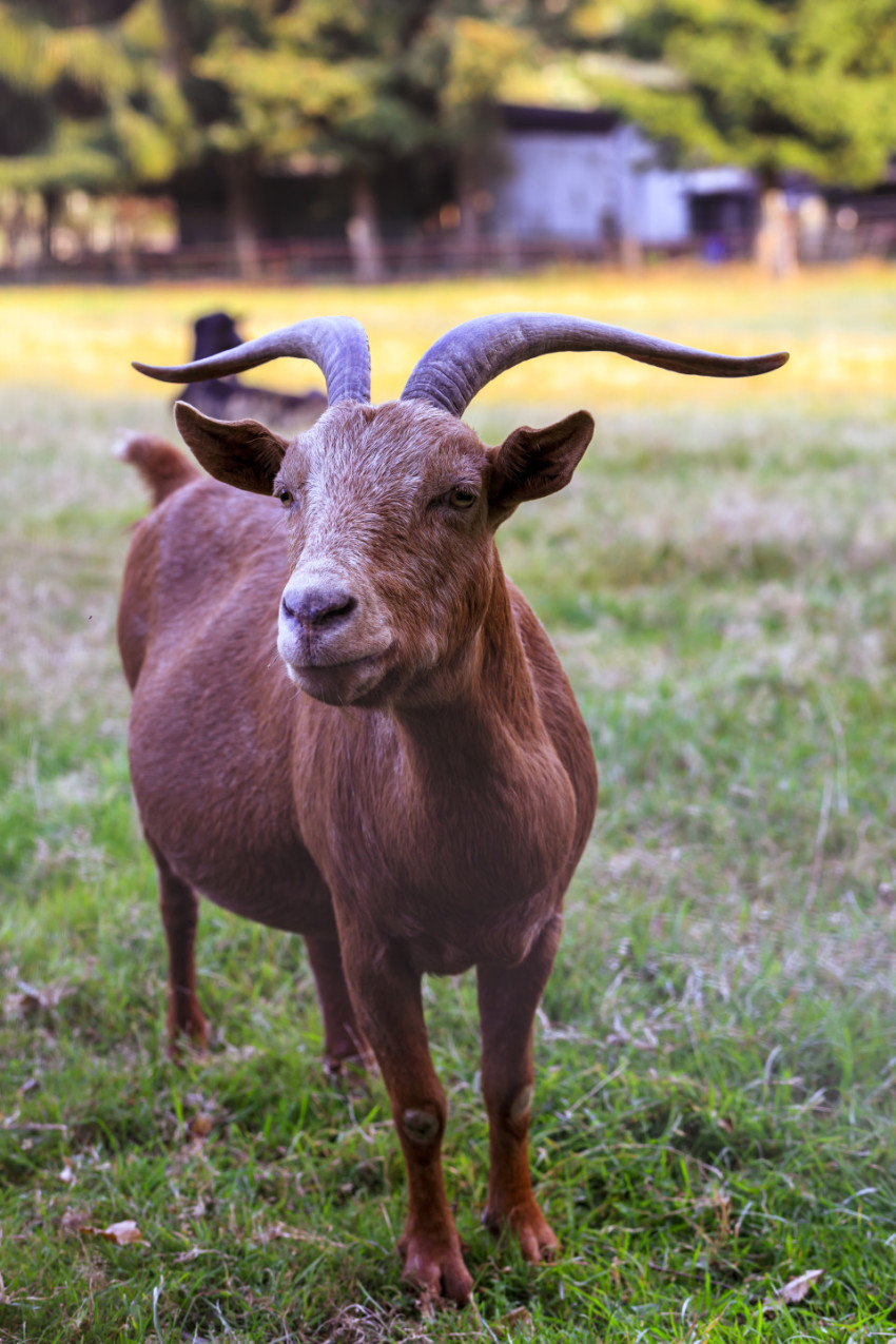 brown goat on the meadow