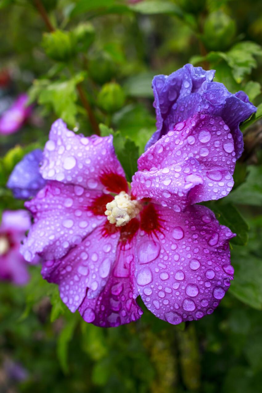 Purple Hibiscus flower