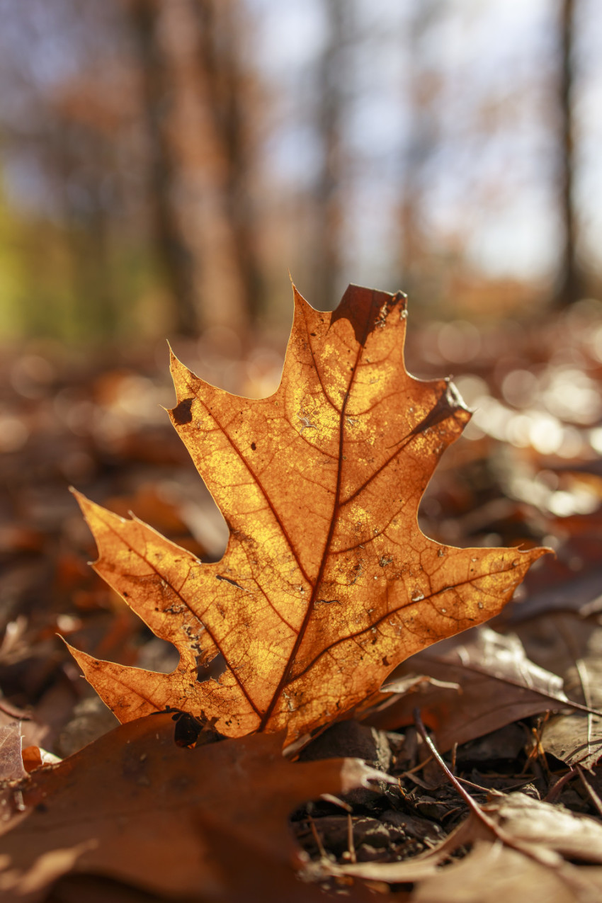 Oak leaf in autumn on forest floor