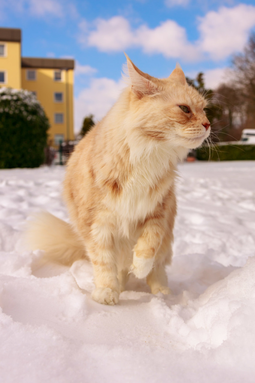 Maine Coon Cat stays in snow