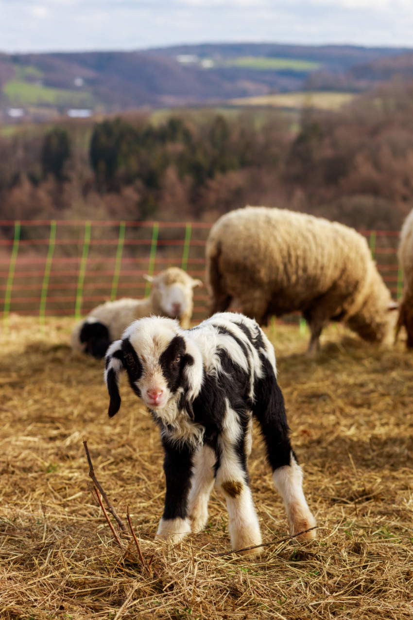 A cute little white and black spotted lamb