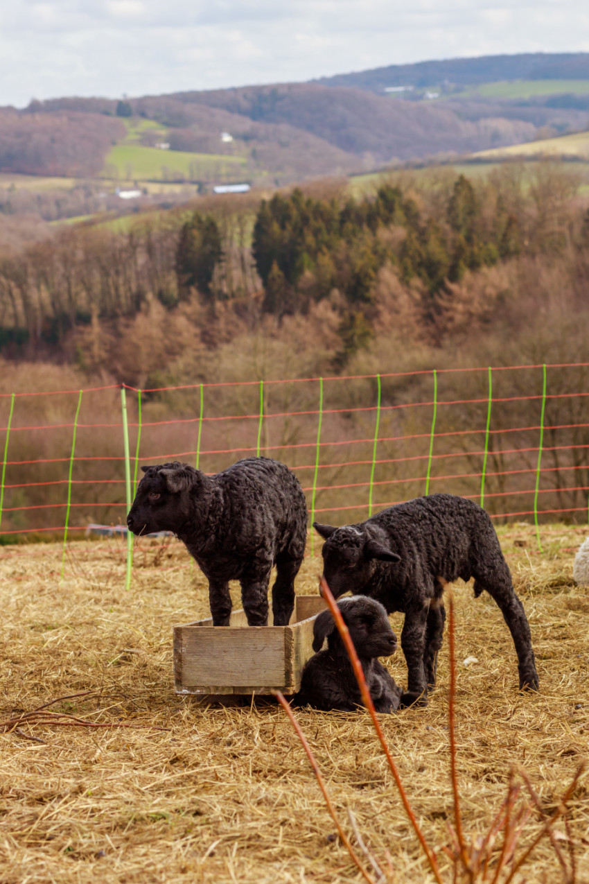 three black lambs are playing with each other