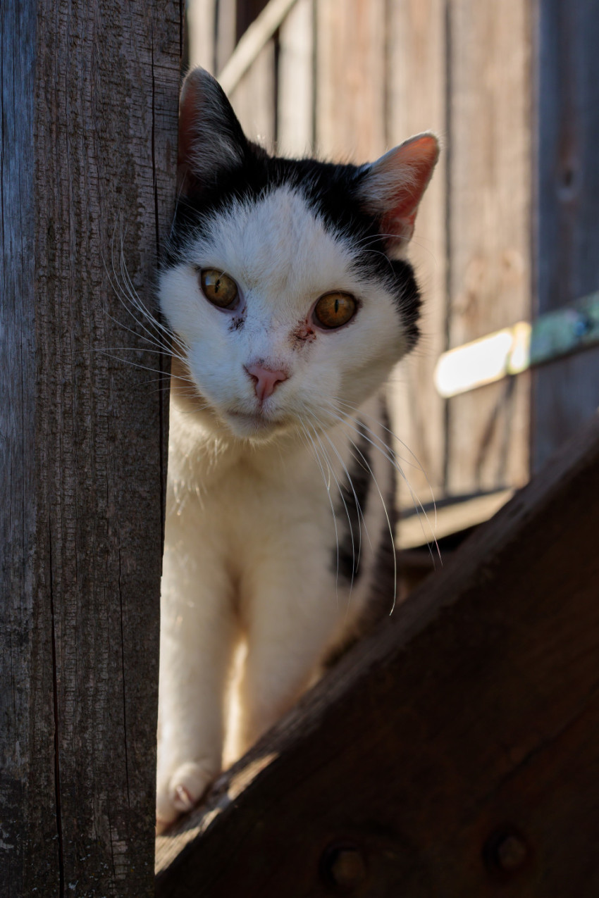 Black and white cat on a farm looks curiously into the camera