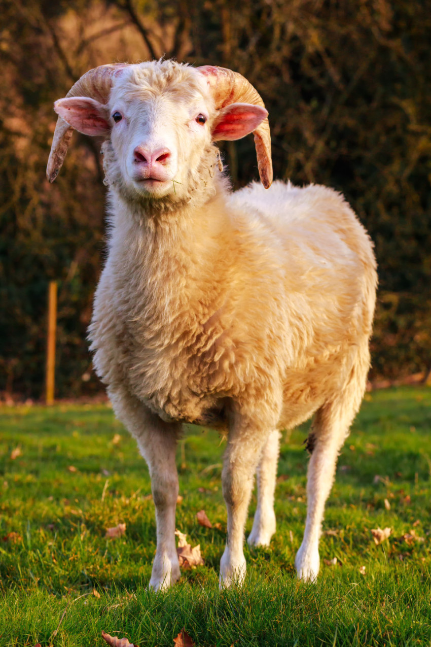 Sheep with beautiful Horns