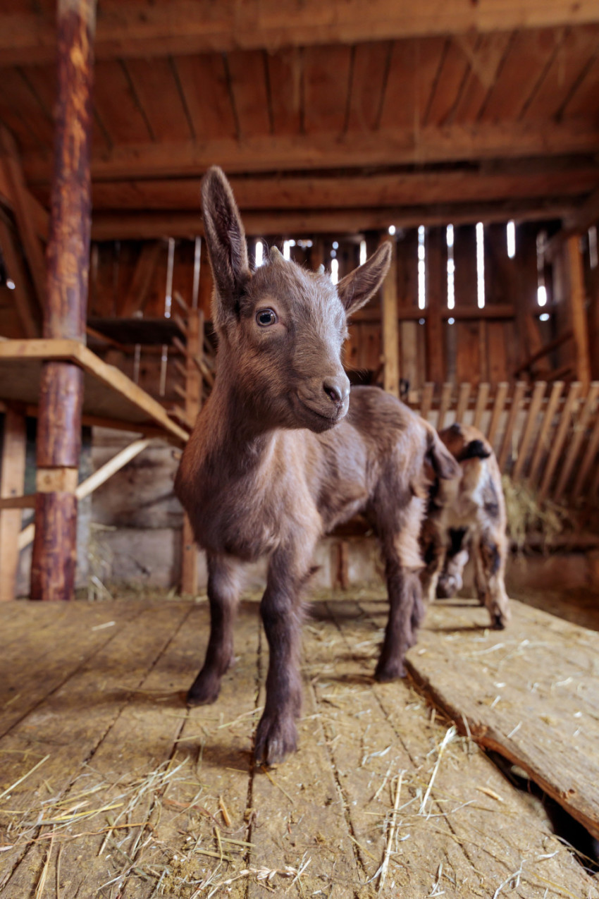 Cheeky young goat in the stable