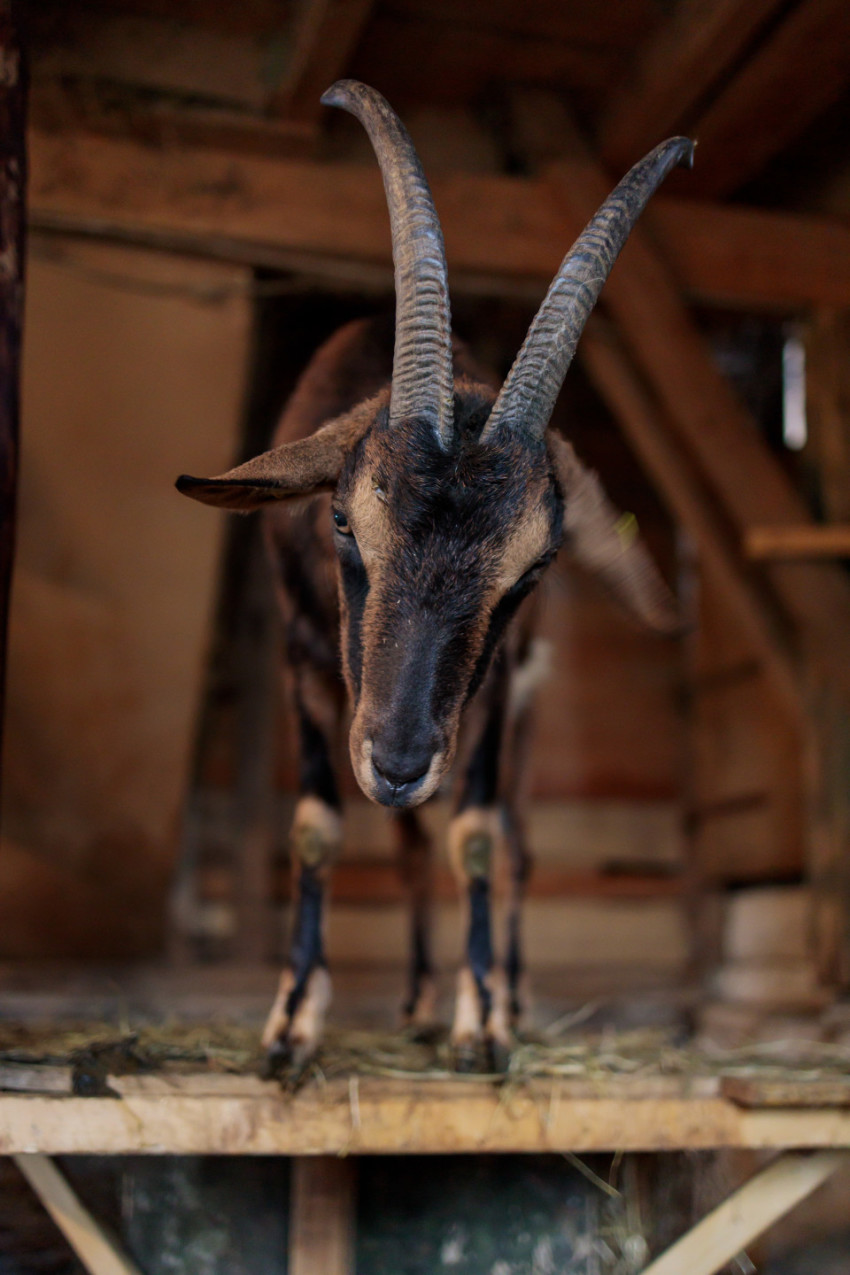 Magnificent brown goat in the stable with long horns