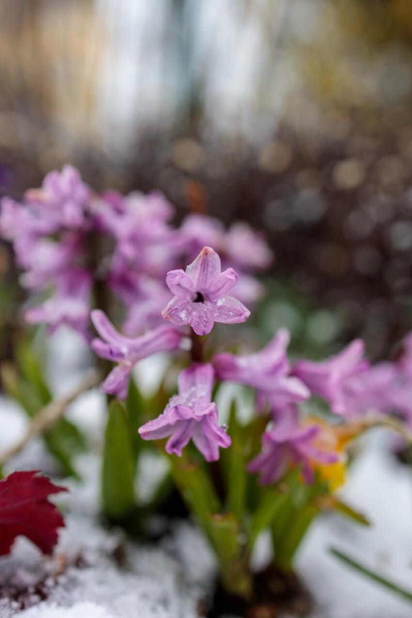 Purple Hyacinth flowers in Snow