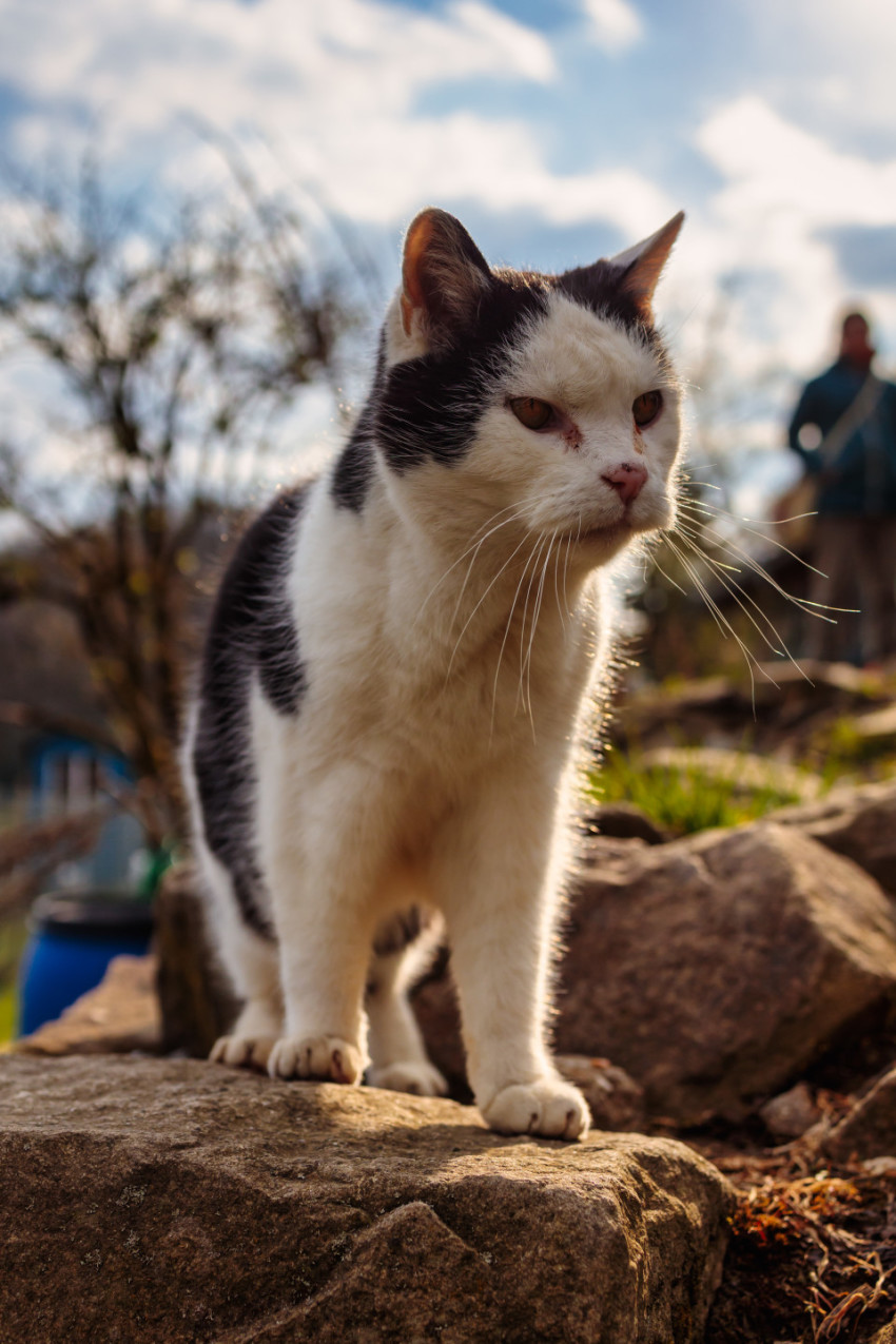 Old cat stands on a rock wall and looks around