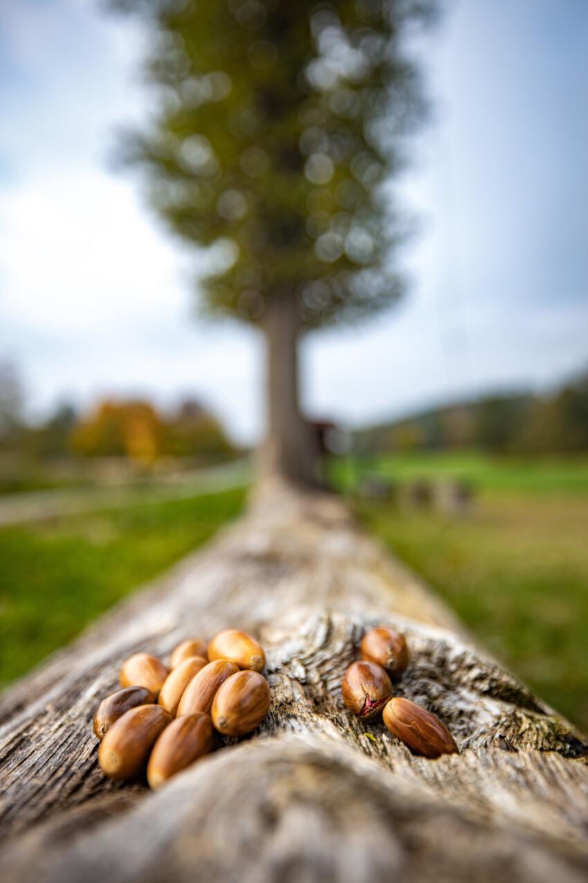Acorns on a log