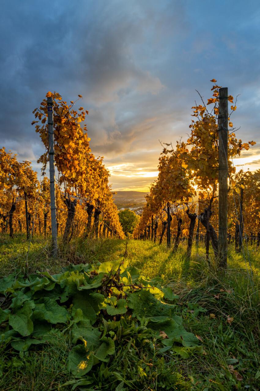 grapevines shine golden in autumn