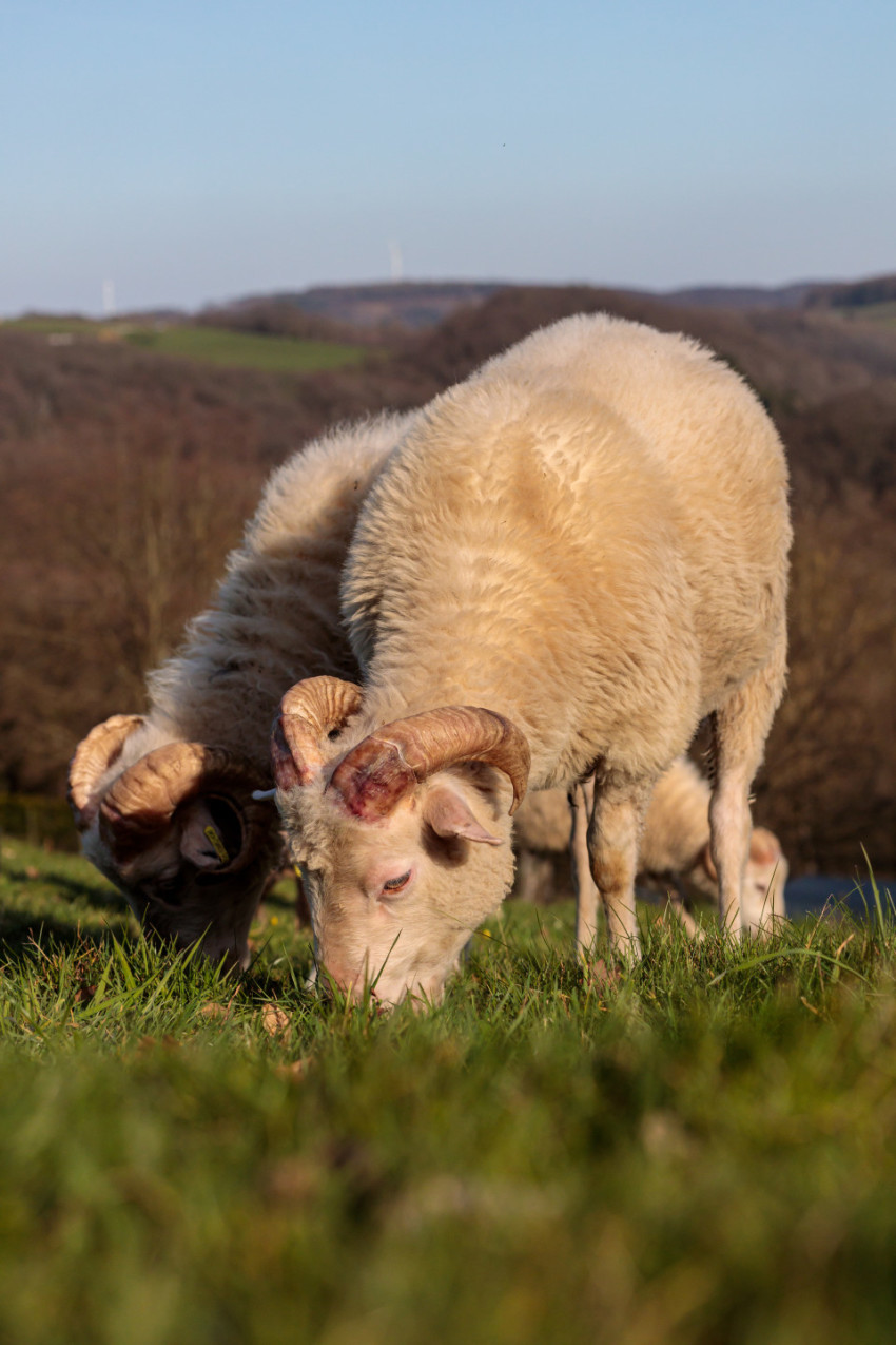 Grazing sheep in the meadow
