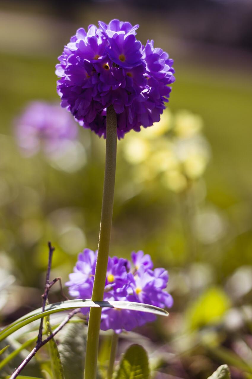 beautiful purple ball primrose