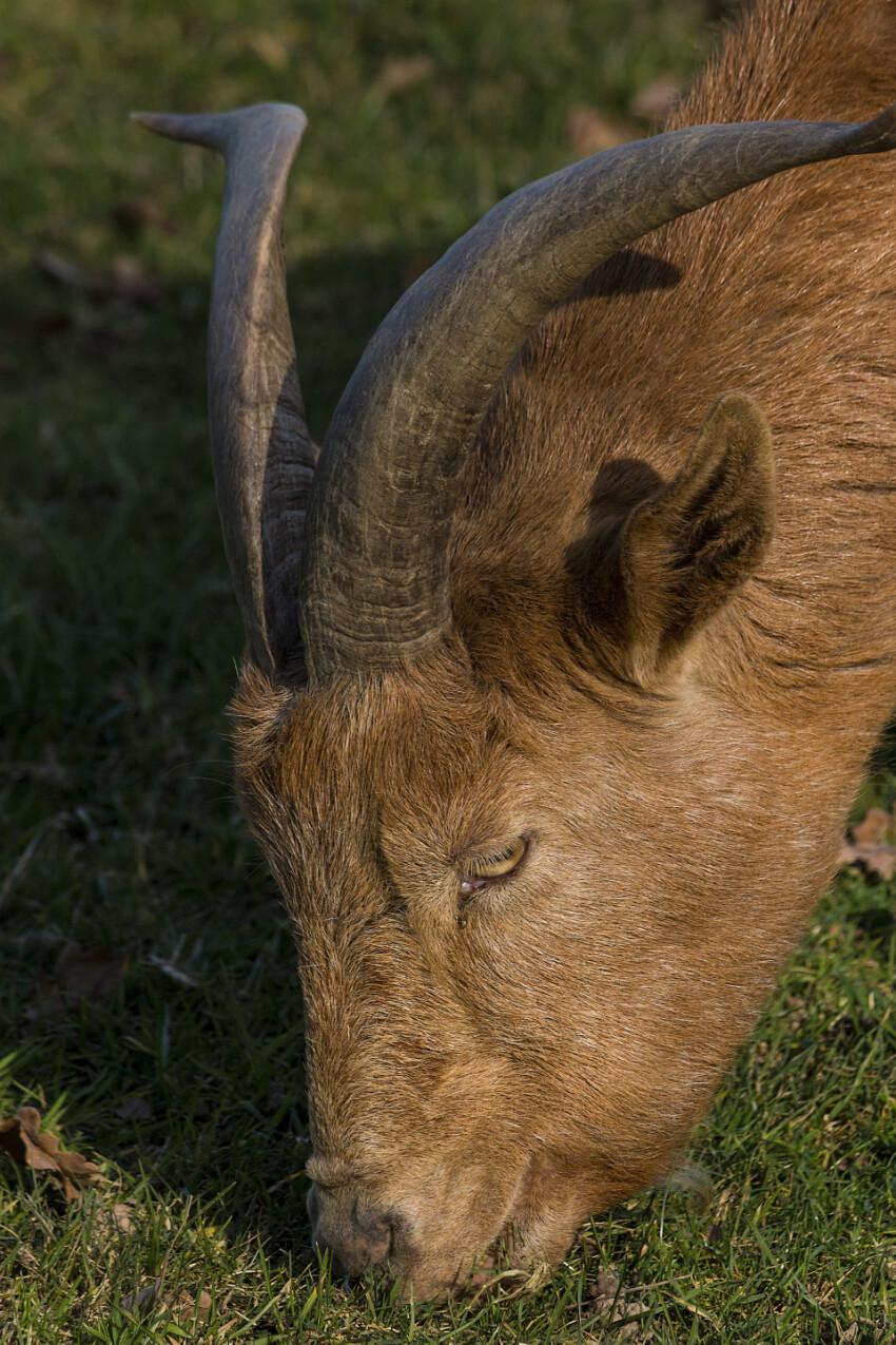 goat grazes
