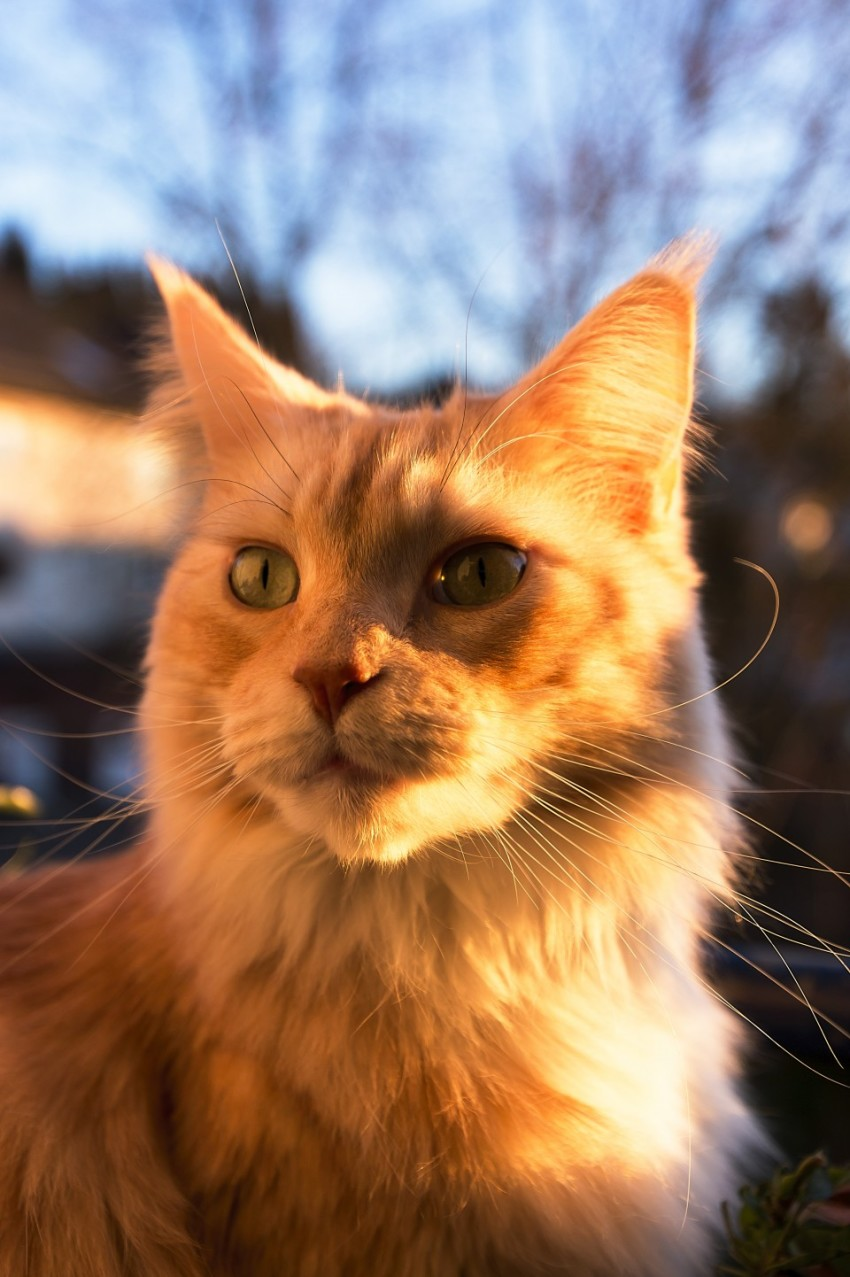 Maine Coon Cat sitting by sunset Portrait
