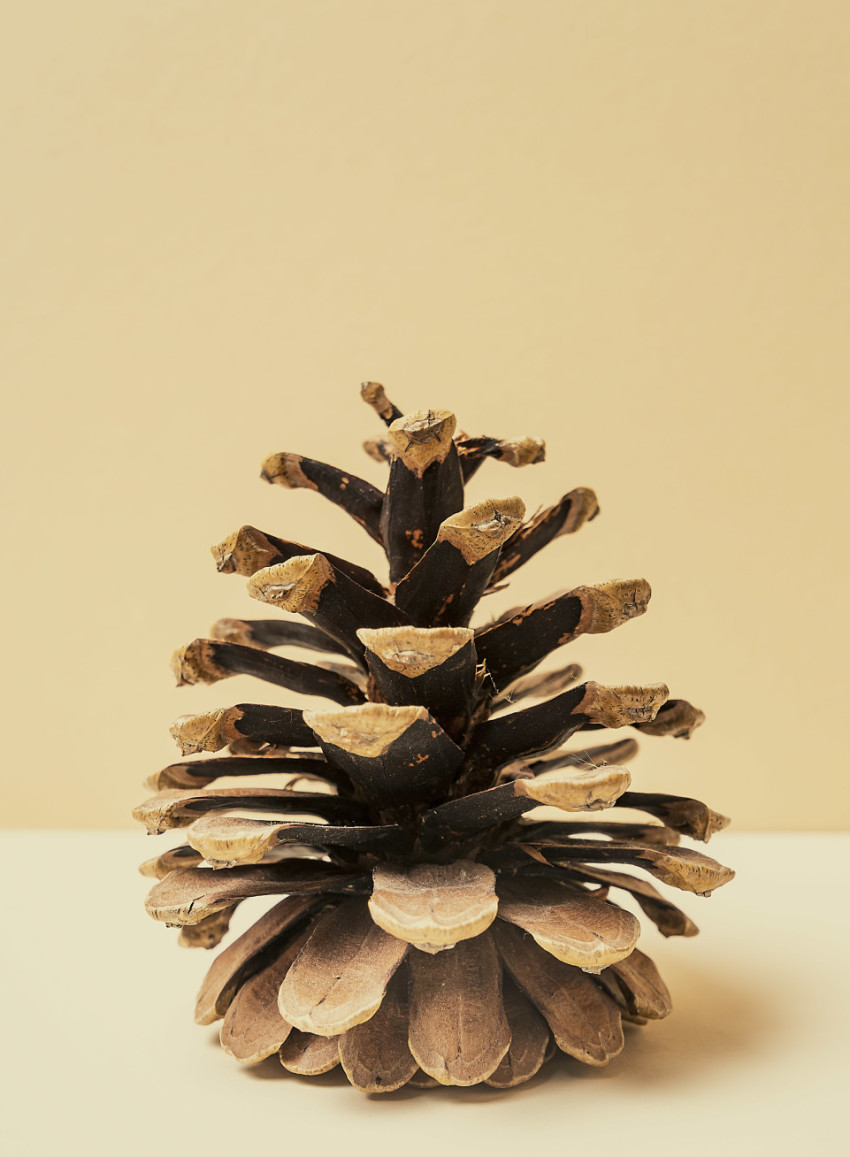 pinecone beautifully set in scene
