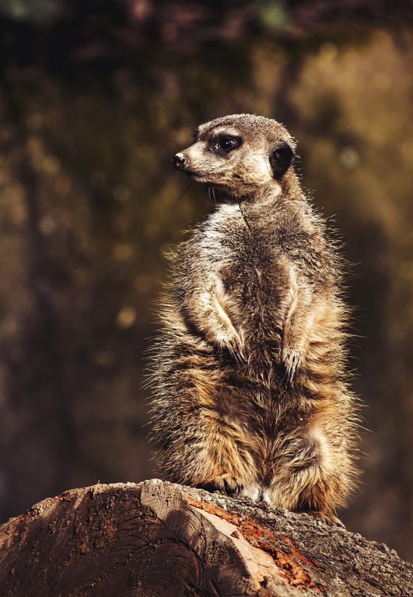 one meerkat guard