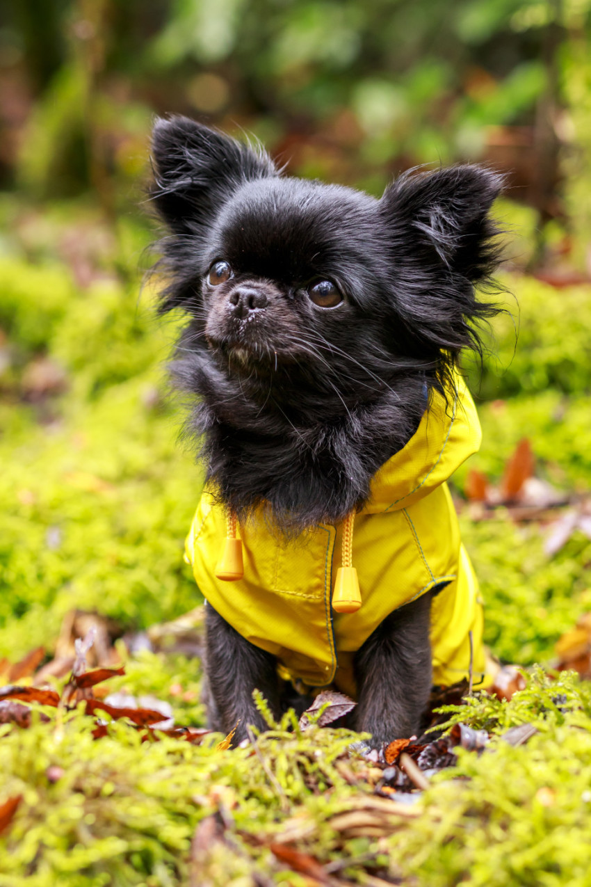 adorable little chihuahua dog wearing a yellow oil jacket in the autumn forest during some rain