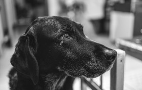 Stock Image: 15 Year Old Black Labrador Dog Lady