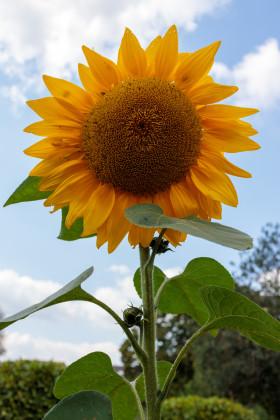 Stock Image: A giant sunflower in full splendour