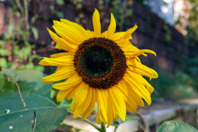 Stock Image: A sunflower at the roadside
