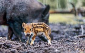 Stock Image: Baby boar