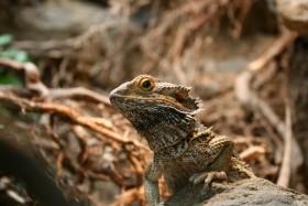 Stock Image: Bearded dragons (pogona vitticeps)