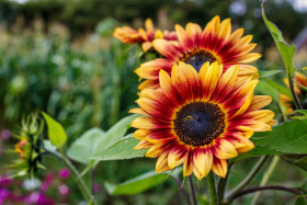Stock Image: Beautiful sunflowers in late summer
