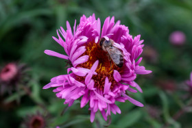 Stock Image: Bee on a pink flower
