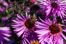 Stock Image: Bee on Asterflower