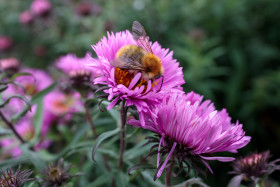 Stock Image: Bee on New England Aster