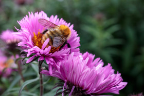 Stock Image: Bee on Pink New England Aster