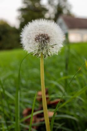 Stock Image: Blowball