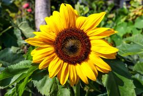 Stock Image: Bright Yellow Sunflower
