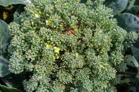 Stock Image: Broccoli just before flowering