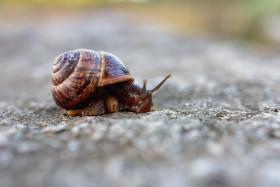 Stock Image: Brown garden snail