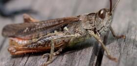 Stock Image: Brown grasshopper macro photo