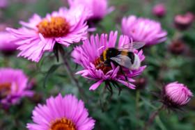 Stock Image: Bumblebee collecting nectar