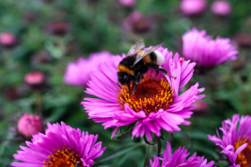 Stock Image: Bumblebee on a pink flower