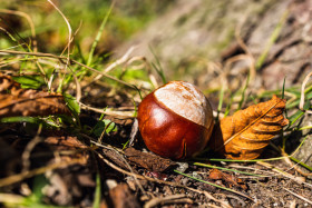 Stock Image: Chestnut on a meadow
