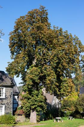 Stock Image: chestnut tree