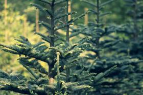 Stock Image: christmas tree breeding / nursery