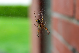 Stock Image: Cross spider in its web