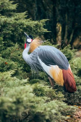 Stock Image: Crowned Crane