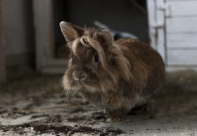 Stock Image: cute brown breeding rabbit portrait in front of his rabbit hutch