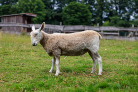 Stock Image: Cute sheep photographed from the side