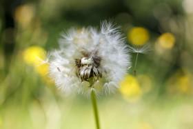 Stock Image: Dandelion seeds blowing away - Blowball