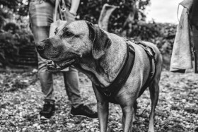 Stock Image: Dog on a leash in black and white