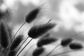 Stock Image: dune grass black and white