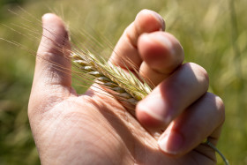 Stock Image: Ear of wheat in the hand