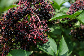 Stock Image: Elderberries in August